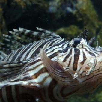 ปลาสิงโตที่พบความผิดปกติจากการติดเชื้อจุดขาว