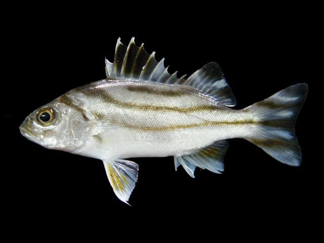 ปลาข้างตะเภา1