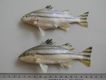 ปลาข้างตะเภา2
