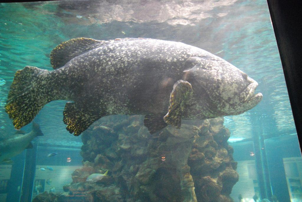 Giant grouper2