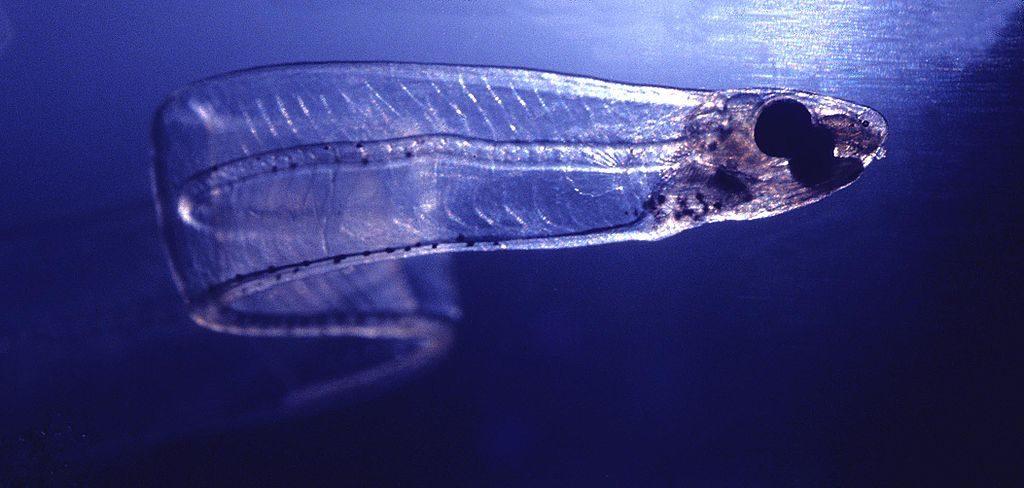 leptocephalus larvae